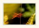 Dragonflies_11