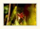 Dragonflies_12