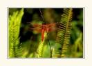 Dragonflies_7