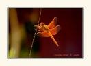 Dragonflies_9