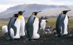 King Penguins, Bluff Cove, Falkland Islands